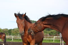 Two brown horses fighting in the herd Royalty Free Stock Photo