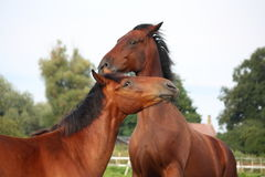 Two brown horses fighting in the herd Stock Photo