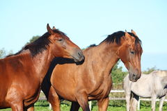 Two brown horses fighting playfully Stock Image