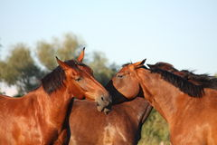 Two brown horses fighting playfully Royalty Free Stock Photo