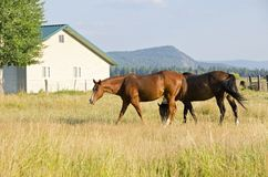 Two Brown Horses Grazing in the Field Royalty Free Stock Photography