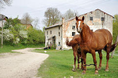 Two brown horses grazing Stock Photography