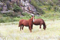 Two brown horses Royalty Free Stock Image