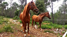 Horses grazing in the mountain. Two brown horses grazing in the mountain. They came to say hello so friendly Royalty Free Stock Photo