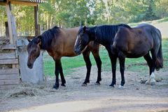 Two brown horses grazing in a paddock Royalty Free Stock Photos