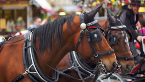 Two brown horses in harness on the square stock footage