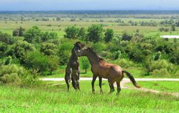 Two brown horses on a high hill arranged fight for leadership stock images