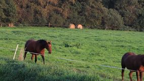 Two brown horses moving through grass step by step stock video