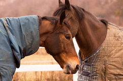 Two brown horses. Near each other, covered with a rug, on the paddock. White fence Royalty Free Stock Images