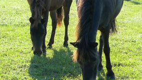 Two brown horses with nice forlocks graze grass. An original front view of two brown horses with wavy forlocks grazing grass on a sunny day in summer stock footage