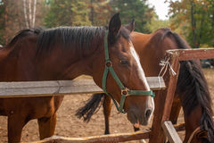 Two brown horses nuzzling each other across a rustic wooden fenc Stock Photos
