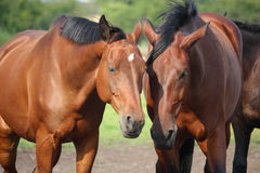 Two brown horses nuzzling each other Stock Image