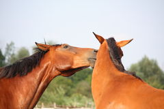 Two brown horses nuzzling each other Royalty Free Stock Photography