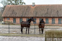 Horses on a paddock on a farm in eastern Poland Royalty Free Stock Photography