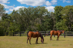 Two Brown Horses in Pasture Stock Image