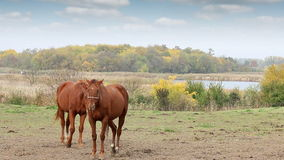 Two brown horses on pasture stock footage