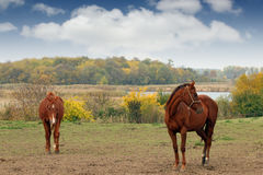 Two brown horses on pasture autumn Royalty Free Stock Photography
