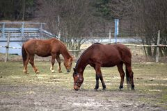 Two brown horses in the pasture royalty free stock photo