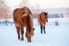 Two brown horses in a pasture in winter. Cold winter day Royalty Free Stock Photography