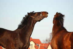Two brown horses playfully fighting Stock Photos