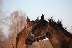 Two brown horses playing together Royalty Free Stock Photography