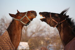 Two brown horses playing together Royalty Free Stock Photos