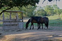 Two brown horses Stock Photos