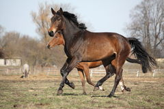 Two brown horses running at the pasture Stock Image