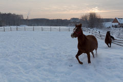 Two brown horses running in the snow field. Two brown horses running in snow field Stock Photography