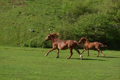 Two brown horses running uphill on green grass field.  Royalty Free Stock Image
