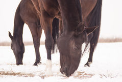 Two brown horses smell the hay that lies Royalty Free Stock Photos