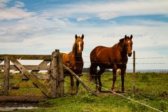 Two brown horses standing next to a wooden gate in the countryside. Mammalian of brown color and lighter mane