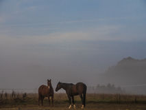 Two Brown Horses Standing on a Paddock royalty free stock image