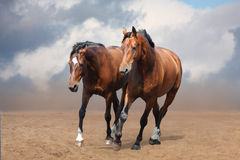 Two brown horses trotting free Stock Images