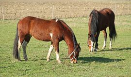 Two brown horses. Pasturing on the meadow Royalty Free Stock Photography