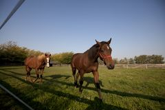 Two brown horses walk in a paddock. Two brown  horses slowly walk in a paddock Royalty Free Stock Image