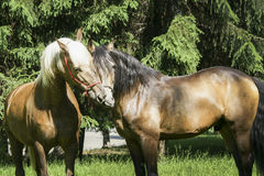Two brown horses with a white and a black mane standing on the grass. On background of green trees Stock Photos