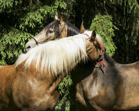 Two brown horses with a white and a black mane standing on the grass. On background of green trees Stock Photo