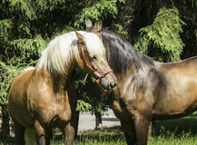 Two brown horses with a white and a black mane standing on the grass Stock Photography