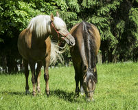 Two brown horses with a white and a black mane standing on the grass Stock Photo