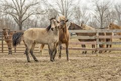 Two Brown Horses Beside Wooden Fencee Stock Images