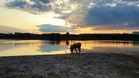 Two brown horses, young foal and his mother, drinking water over sunset background with reflection on the lake surface.