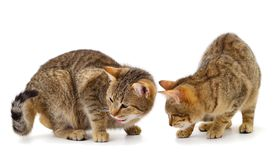 Two brown house cats. On a white background stock photo