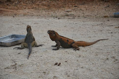 Two brown iguanas at feeding time in the reserve Fauna of the Caribbean Royalty Free Stock Image