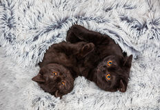 Two brown kitten Stock Photo