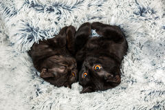 Two brown kittens Royalty Free Stock Image