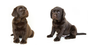 Two brown labrador puppies Royalty Free Stock Images