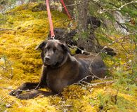 Two brown labs tied to a pine tree in a forest Royalty Free Stock Images