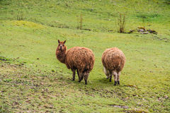 Two Brown lama. Out in the fields royalty free stock photo