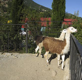 Two brown lamas Stock Photo